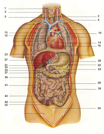Die inneren Organe des Menschen